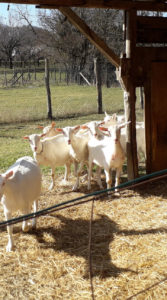 Capre di razza Saanen - Azienda Agricola Ravera Arquata Scrivia